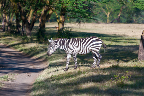 Zèbre zèbres Afrique Kenya cheval courir Photo stock © master1305