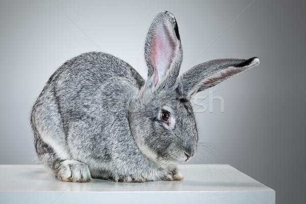ヨーロッパの ウサギ ヶ月 古い イースター 肖像 ストックフォト © master1305