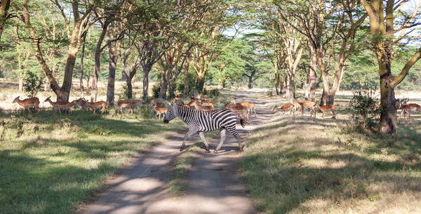 シマウマ 道路 サファリ アフリカ 自然 背景 ストックフォト © master1305