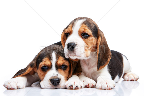 Beagle puppies witte twee triest jonge Stockfoto © master1305