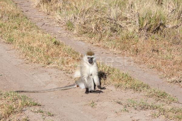 бабуин сидят дороги Кения Африка лице Сток-фото © master1305