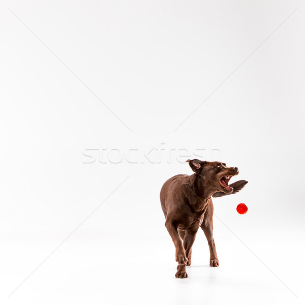 The brown labrador retriever on white Stock photo © master1305