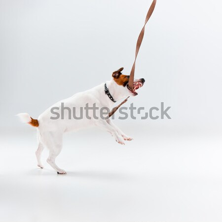 Faible jack russell terrier blanche jouer amusement animaux Photo stock © master1305