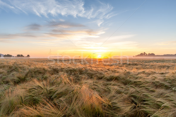 Young wheat growing in green farm field under blue sky Stock photo © master1305