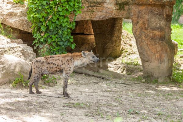 Iena zoo selvatico Italia erba piedi Foto d'archivio © master1305