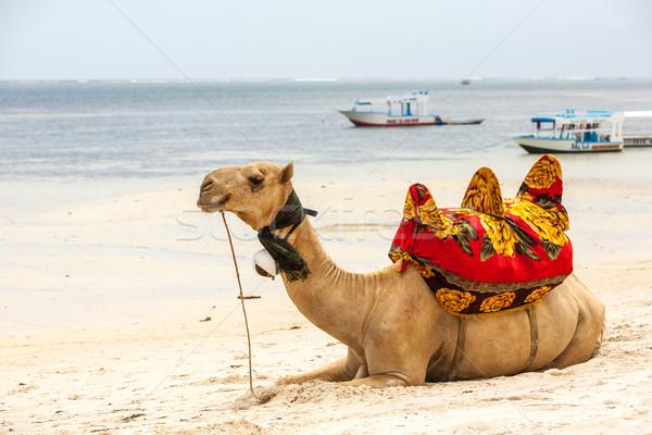 Camel lying on the sand Stock photo © master1305