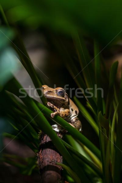 Rosolare rana verde zoo primo piano ritratto Foto d'archivio © master1305