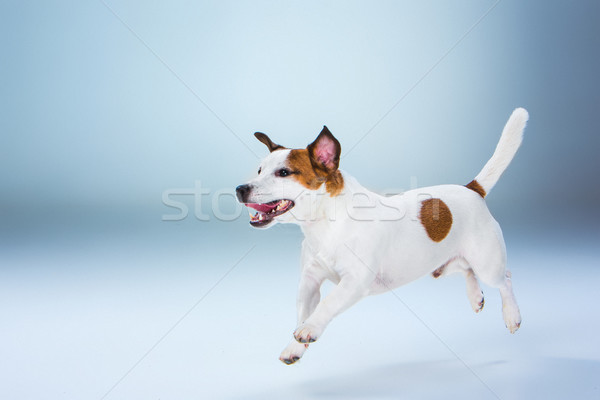 Small Jack Russell Terrier jumping high Stock photo © master1305