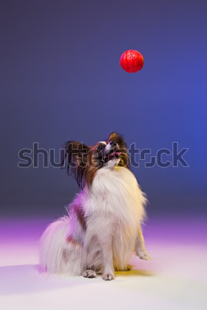 Red Toy Poodle puppy playing with a ball on gray Stock photo © master1305