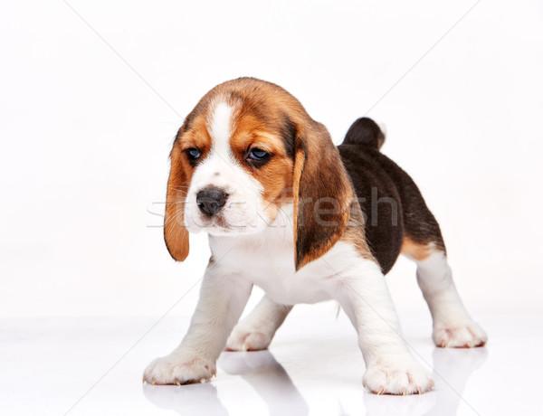 Beagle щенков белый Постоянный молодые студию Сток-фото © master1305