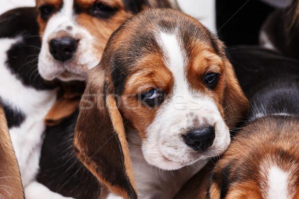 Beagle щенков белый печально 1 месяц старые Сток-фото © master1305