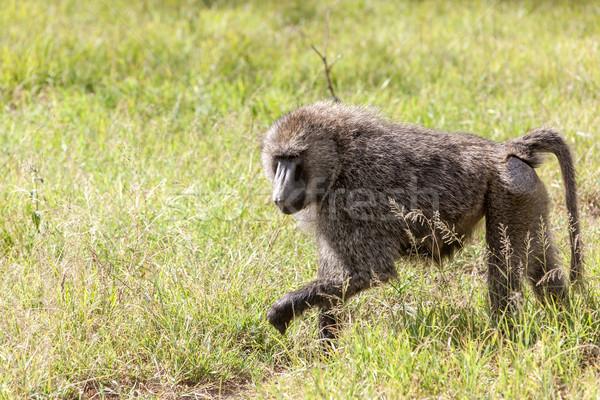 бабуин зеленая трава Кения Африка лице глазах Сток-фото © master1305