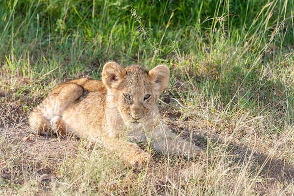 lion cub on the plains Kenya Stock photo © master1305