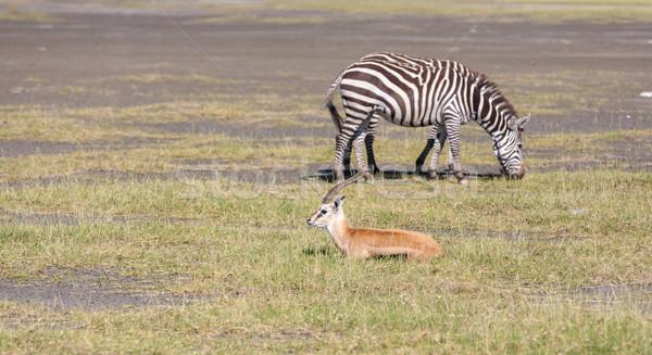 シマウマ 草 サファリ アフリカ 道路 自然 ストックフォト © master1305