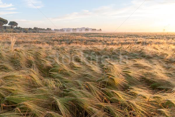 молодые пшеницы растущий зеленый фермы области Сток-фото © master1305