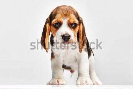 Tazı köpek yavrusu beyaz ayakta genç stüdyo Stok fotoğraf © master1305