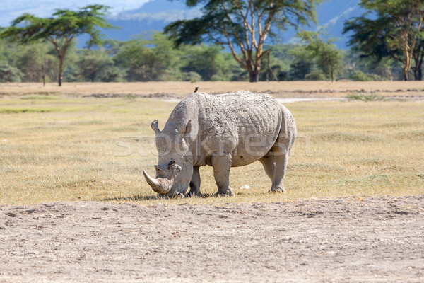Safári rinoceronte branco savana verde viajar Foto stock © master1305