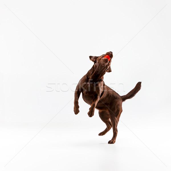 Kahverengi labrador retriever beyaz oynama stüdyo top Stok fotoğraf © master1305
