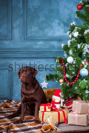 The black labrador retriever sitting with gifts on Christmas decorations background Stock photo © master1305