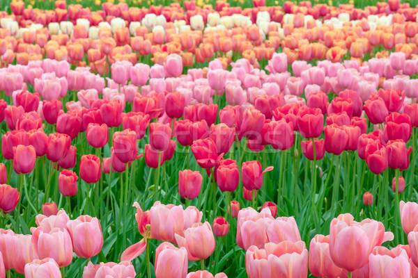 Tulipa campo jardins jardim de flores jardim fundo Foto stock © master1305