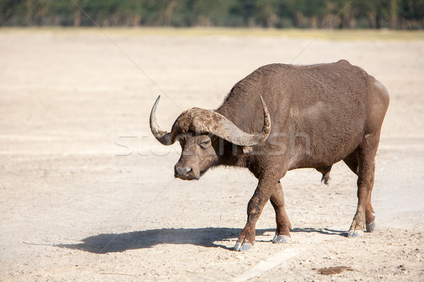 Wild African Buffalo. Kenya, Africa Stock photo © master1305