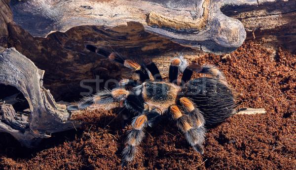 Mexican red knee tarantula  Stock photo © master1305