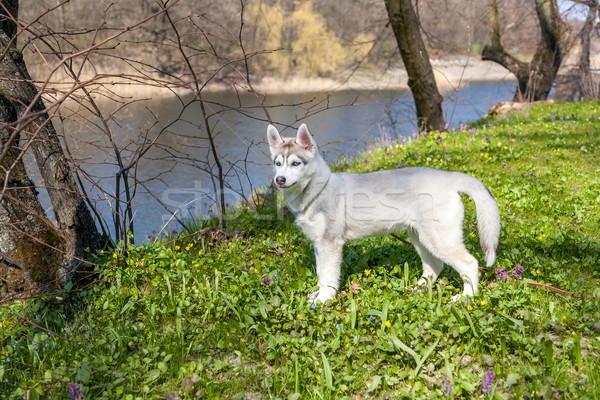 肖像 子犬 ハスキー 緑の草 草 幸せ ストックフォト © master1305