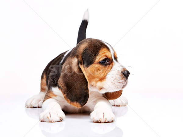 Beagle puppy on white background Stock photo © master1305