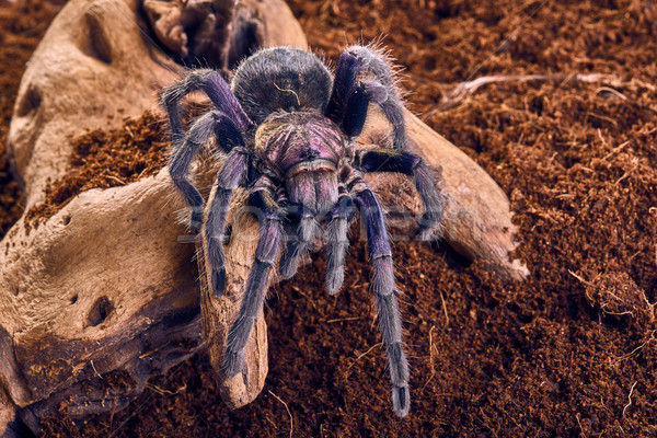 Tarantula mor kahverengi toprak web Stok fotoğraf © master1305