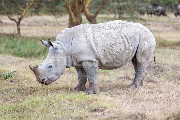 Safari rinoceronte sabana verde viaje retrato Foto stock © master1305