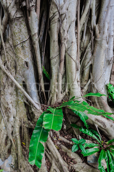 The roots of the banyan tree Stock photo © master1305