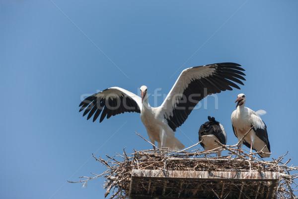 White storks in the nest Stock photo © master1305