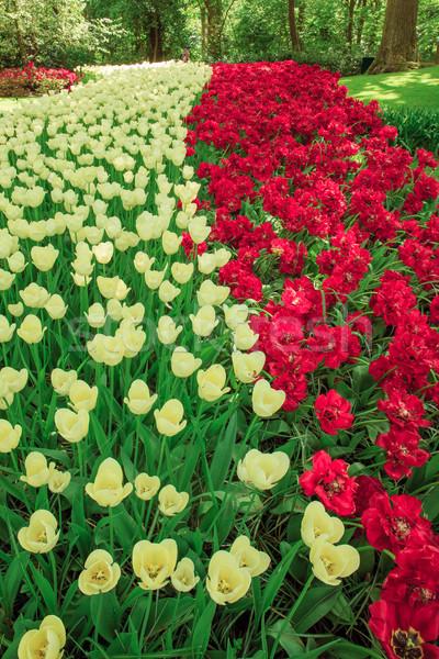 チューリップ フィールド 庭園 花 庭園 ストックフォト © master1305