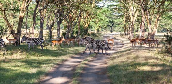 Zebras estrada safári África natureza fundo Foto stock © master1305