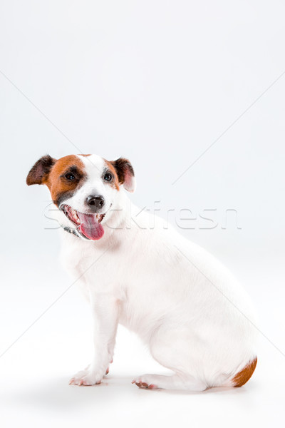 Stock photo: Small Jack Russell Terrier sitting on white
