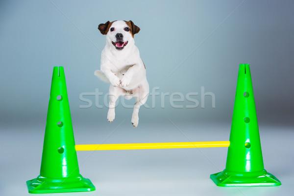 小 ジャックラッセルテリア ジャンプ 高い グレー 楽しい ストックフォト © master1305
