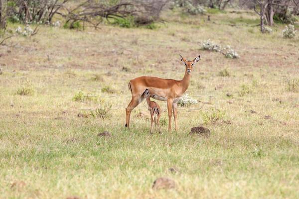 カブ 草 緑の草 自然 背景 砂漠 ストックフォト © master1305