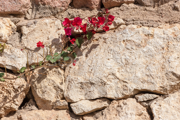 Red bougainvillea, Sharm el Sheikh, Egypt. Stock photo © master1305