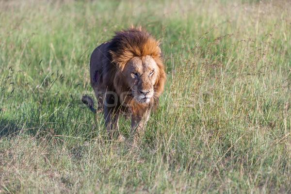Сток-фото: лев · зеленая · трава · саванна · глазах · природы