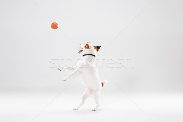Kicsi jack russell terrier fehér játszik kutya jókedv Stock fotó © master1305