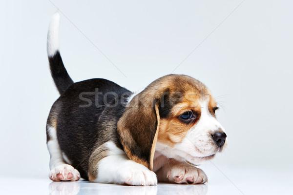 Beagle щенков белый собака печально молодые Сток-фото © master1305