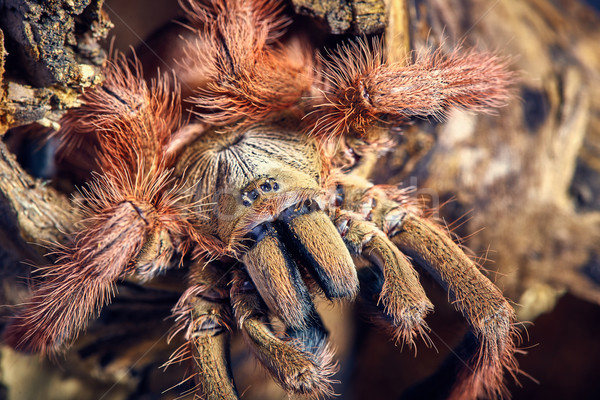 Stock photo: tarantula Tapinauchenius gigas