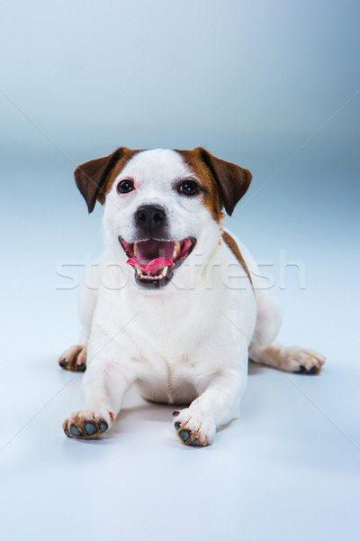 Stock photo: Small Jack Russell Terrier sitting on gray
