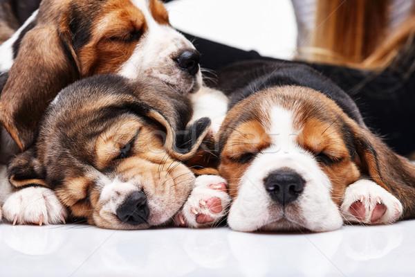 Beagle щенки белый три 1 месяц старые Сток-фото © master1305