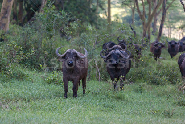 Wild African Buffalos. Kenya, Africa Stock photo © master1305