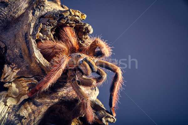 Stock photo: tarantula Tapinauchenius gigas