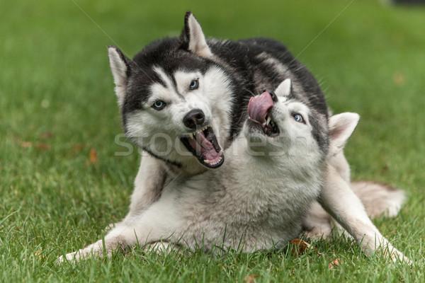 肖像 2 犬 ハスキー 緑の草 犬 ストックフォト © master1305