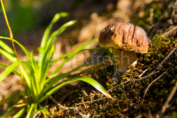 Fall mushroom in the forest on grass  Stock photo © master1305