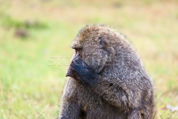 бабуин сидят саванна Кения Африка лице Сток-фото © master1305