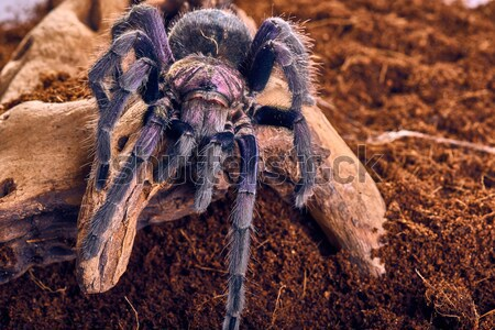 tarantula Tapinauchenius gigas Stock photo © master1305